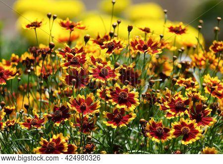 Flowering Coreopsis (lat.coreopsis), Or Parisian Beauty Plant