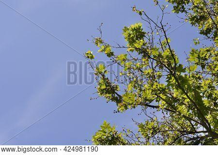 London Plane Branches Against Blue Sky - Latin Name - Platanus X Hispanica (platanus X Acerifolia)