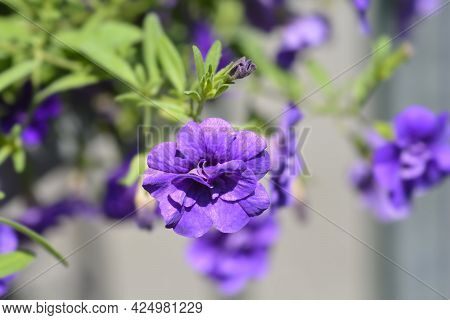 Million Bells Double Blue Flowers - Latin Name - Calibrachoa Hybrid