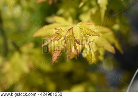 Japanese Maple Orange Dream - Latin Name - Acer Palmatum Orange Dream