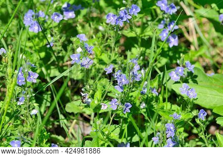 Veronica Chamaedrys Is A Herbaceous Perennial Species Of Flowering Plant In The Plantain Family Plan