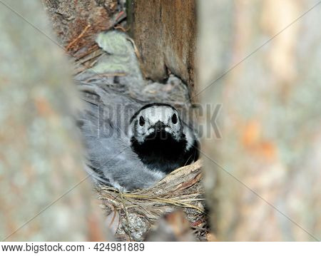 The Female Wagtail Incubates Chicks In Her Nest Located In The Hollow Of A Tree. The White Wagtail I