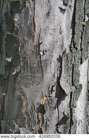 Silver Maple Bark Detail - Latin Name - Acer Saccharinum