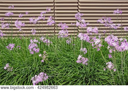 Beautiful Pink Flowers Of Tulbaghia Violacea ( Pink Agapanthus; Sweet Garlic ) In Garden On Sunny Su