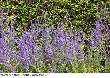 Purple-blue Flowers Of Blue Sage Salvia Farinacea In Garden On Sunny Summer Day