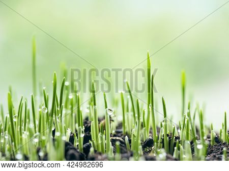 Grass Baby Sprouts. Fresh Green Spring Grass In The Ground With Dew Drops Closeup. Abstract Nature B