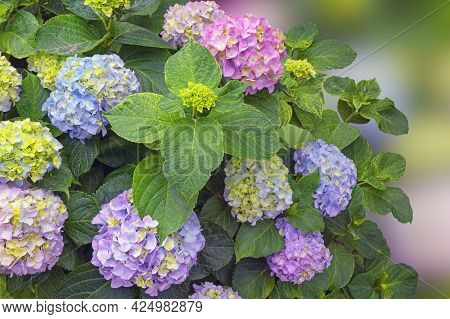 Beautiful Flowers Of Hydrangea ( Hydrangea Macrophylla ) On Sunny Spring Day