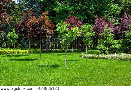 Young Trees Growing On A Green Grass Landscape Lawn In A Sunny Summer Park Lit By The Summer Sun, No