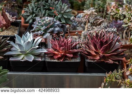 Collection Of Various Tropical Cactus And Succulent Plants In Different Pots.