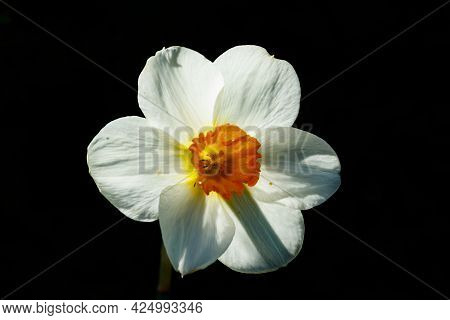 Single White Narcissus On A Black Background.