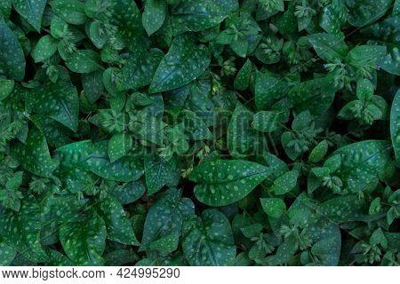 Pulmonaria. Uma Planta Com Folhas Variegadas. Vista Das Folhas Verdes Suculentas, Vista Superior. Fu