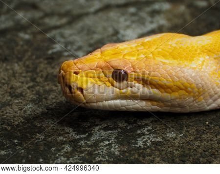 Picture Of A Albino Python Snake Head On A Park