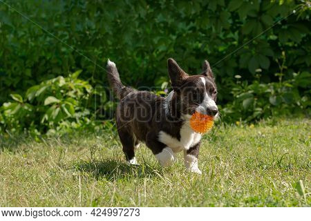 A Small Fluffy Funny Dog Corgi Cardigan Is Playing With A Ball.