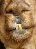 Vertical close-up photo of Alpaca's face with very toothy smile poster