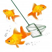 Catching of the goldfish. Success concept. Business metaphor. poster