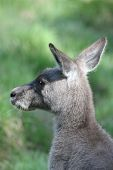 Kangaroo joey at Euroka Clearing in The Blue Mountains National Park poster