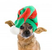 a chihuahua mix dressed up as an elf poster