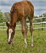 A baby chestnut horse grazing on green grass in a corral. The setting is a farm/ranch rural country. There is a white electric fence in the background and green grass in the forground. poster