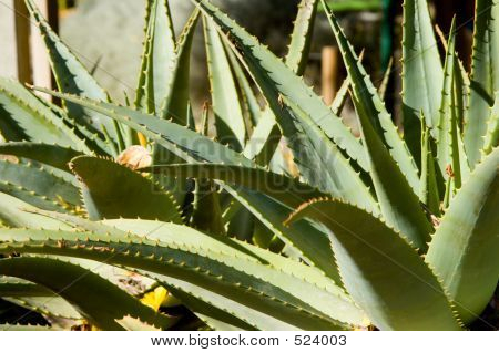 Agave Plant