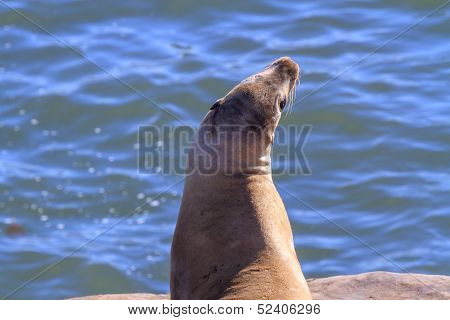 Sea Lion looking up on rock by the ocean