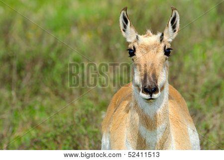 Pronghorn Antelope closeup portrait, Yellowstone National Park poster