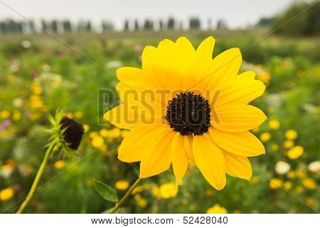 Flowering Browneyed Susan