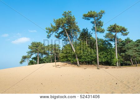 Lopsided Scots Pine Trees Growing On A Sandy Dune