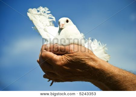 Elderly man hands holding a white dove against blue sky and sun concept of hope poster