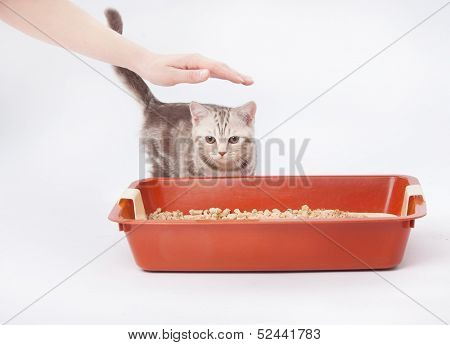 Small scottish kitten next to red plastic litter cat