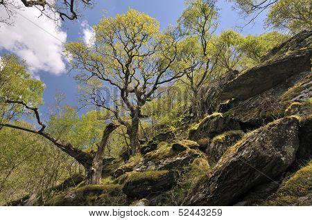 Steep Sessile Oak Woodland RSPB Dinas Carmarthenshire Wales poster
