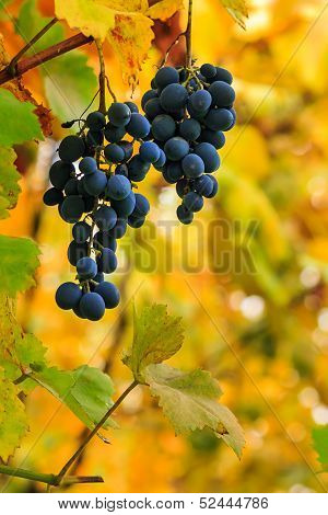 Fine Sweet Grapes On A Foliage Background
