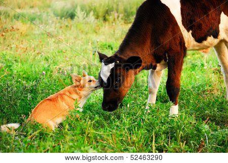 Dog And Calf Communication