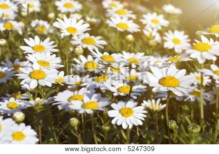 Camomile Field Under The Sunlight, Selective Focus