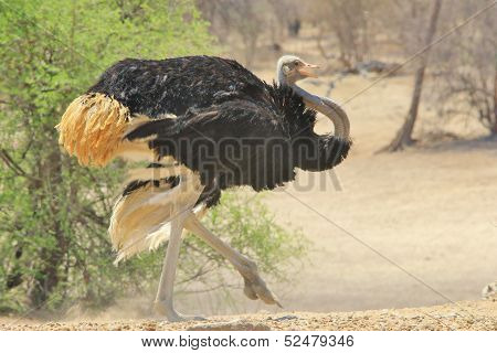Ostrich - Wild Bird Background from Africa - Anger and Aggression