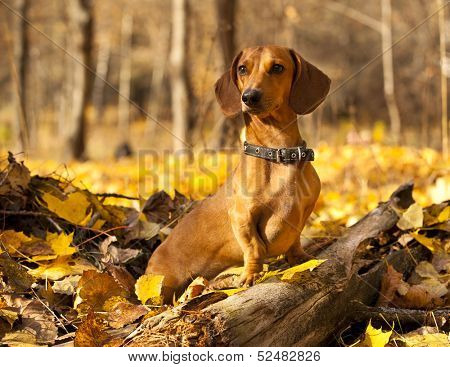 dachshund on autumn forest with leaves