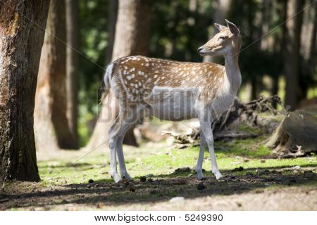 female fallow deer in the forest looking over shoulder poster