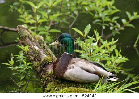 Duck Sitting Pretty