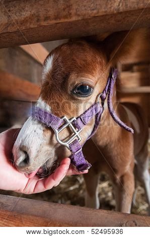 Minature Horse Foal Lies Head In Hand