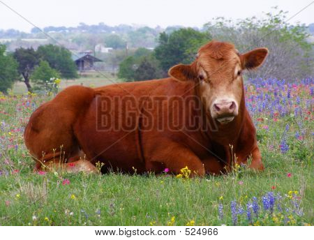 Cow Sitting In Field Of Wildflowers