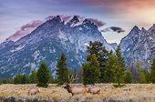 Elk (Cervus canadensis) Grand Teton National Park Wyoming poster