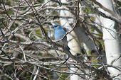 blue bird in spring poster
