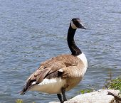 a canadian goose by a lake poster