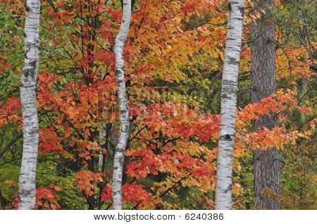 Autumn Maple and Aspens