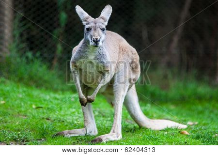 Single Kangaroo