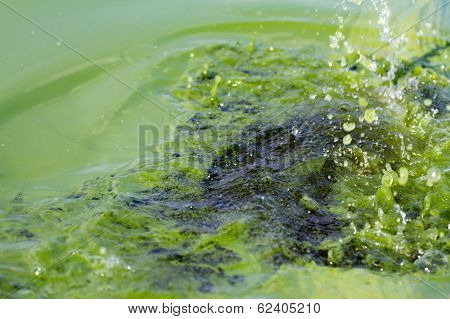 Algae Polluted Water (  Green Scum)