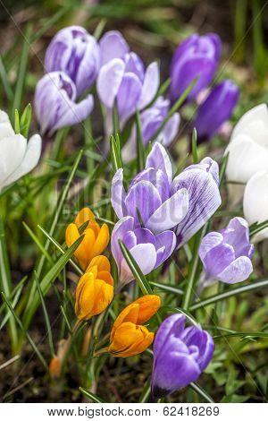 Group of garden crocus flowers