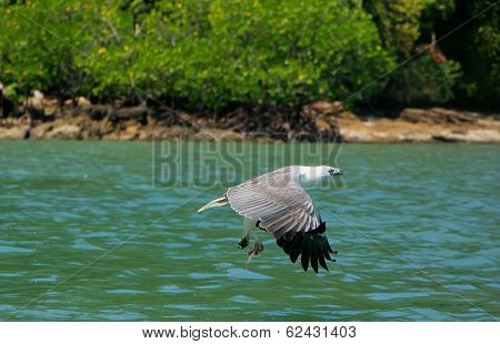 White-bellied Sea Eagle hunting Langkawi island Malaysia poster