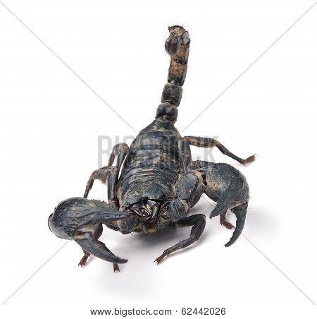 Scorpion Pandinus Imperator Isolated On White Background