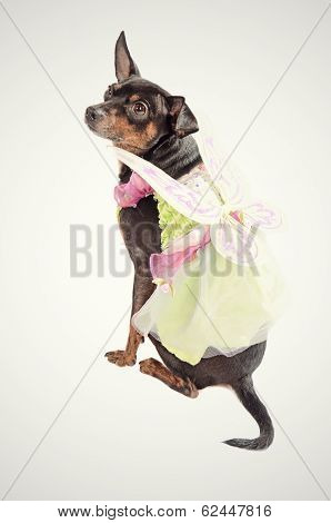 Chihuahua Dog Wearing A Fairy Costume