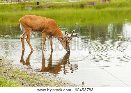 Deer drinks from lake